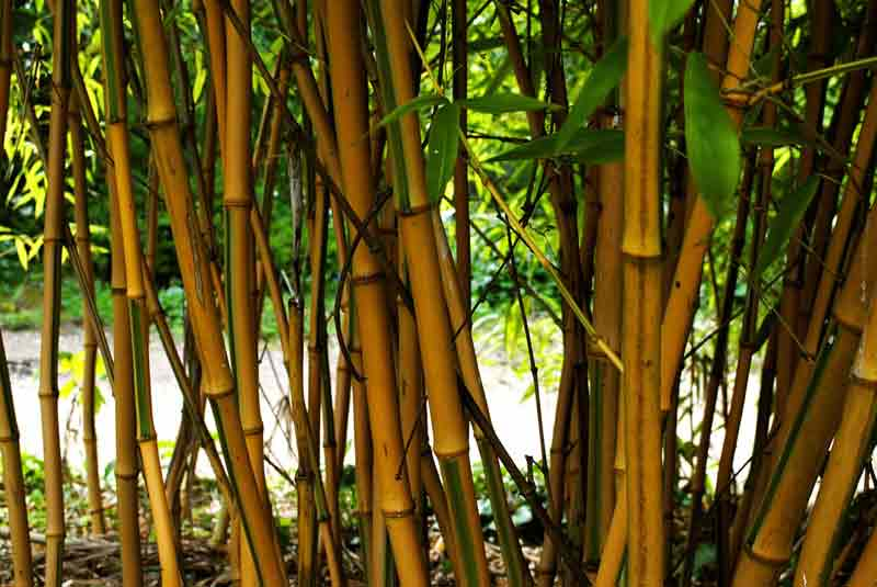 Whole sale plant Nurseries Bamboo babylon plants
