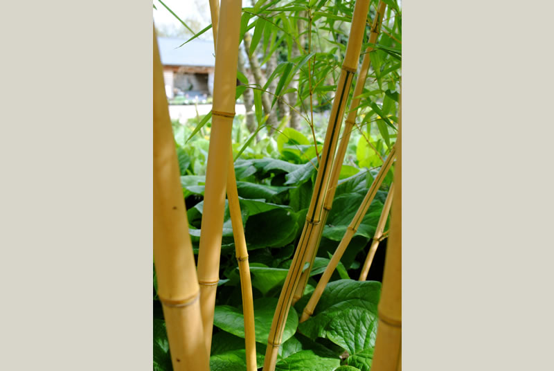Bamboos are evergreen perennial flowering plants in the subfamily Bambusoideae of the grass family Poaceae.