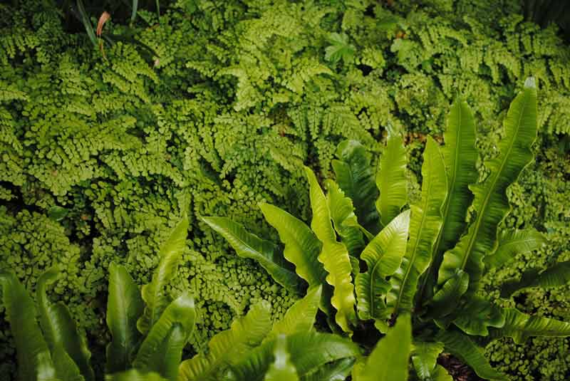 wholesale plant nurseries oxfordshire Babylon Plants ferns
