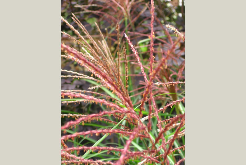 Ornamental grasses can be used to great effect in our gardens