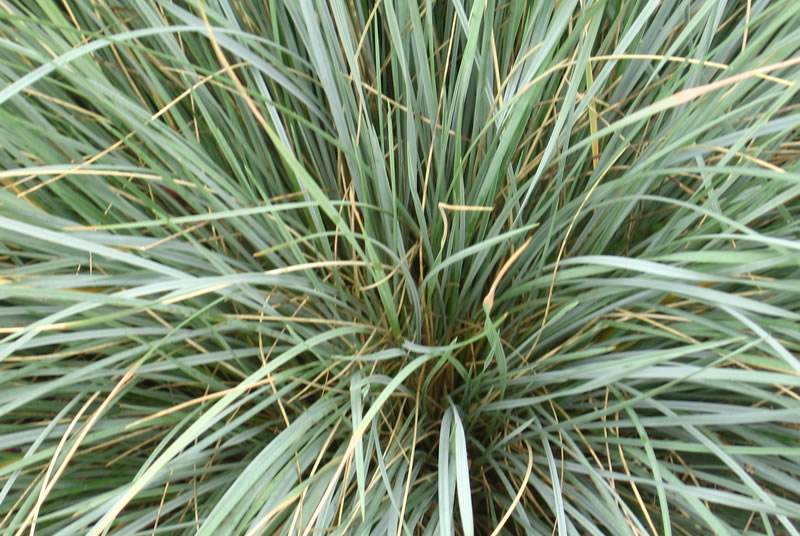 Ornamental grasses on sale at wholesale plant nursery