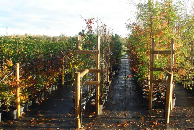 trees oxfordshire plant nursery babylon plants